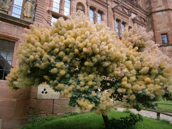 Tree on the Grounds of Heidelberg Castle